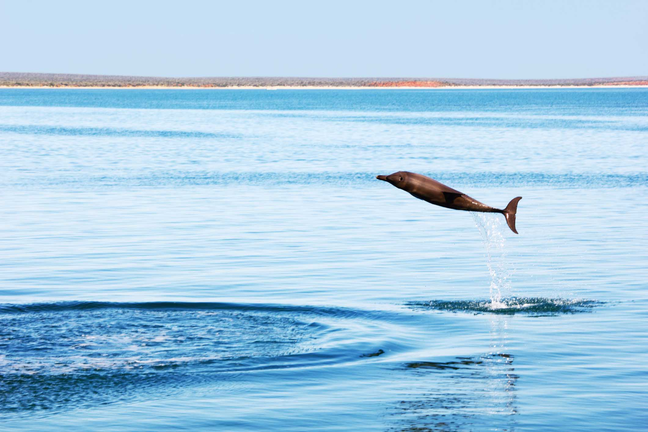 Bottlenose Dolphin jumping joyfully out of the Water, Indian Ocean, Monkey Mia, Western Australia